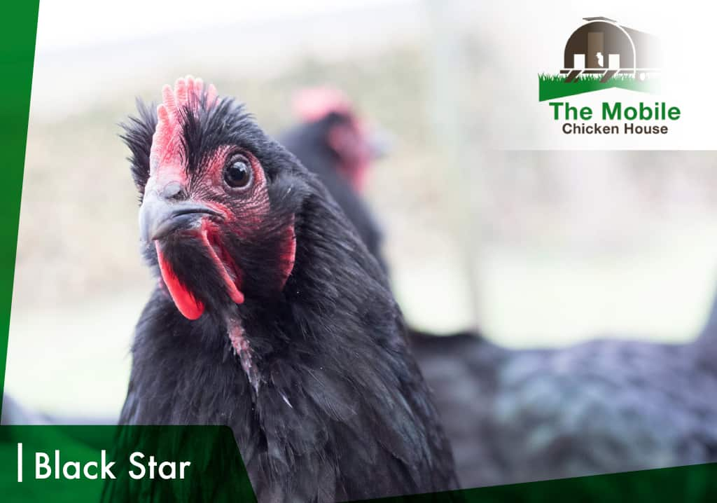 Black Star Chicken