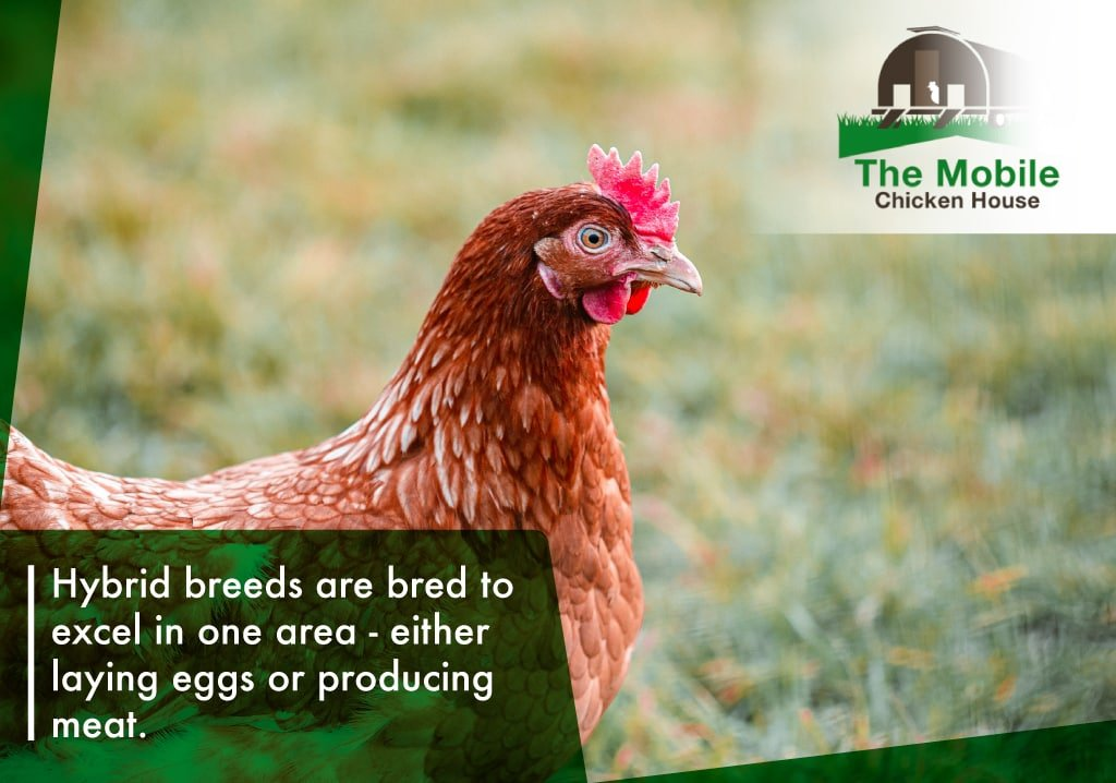 Hybrid breeds are bred to excel in one area