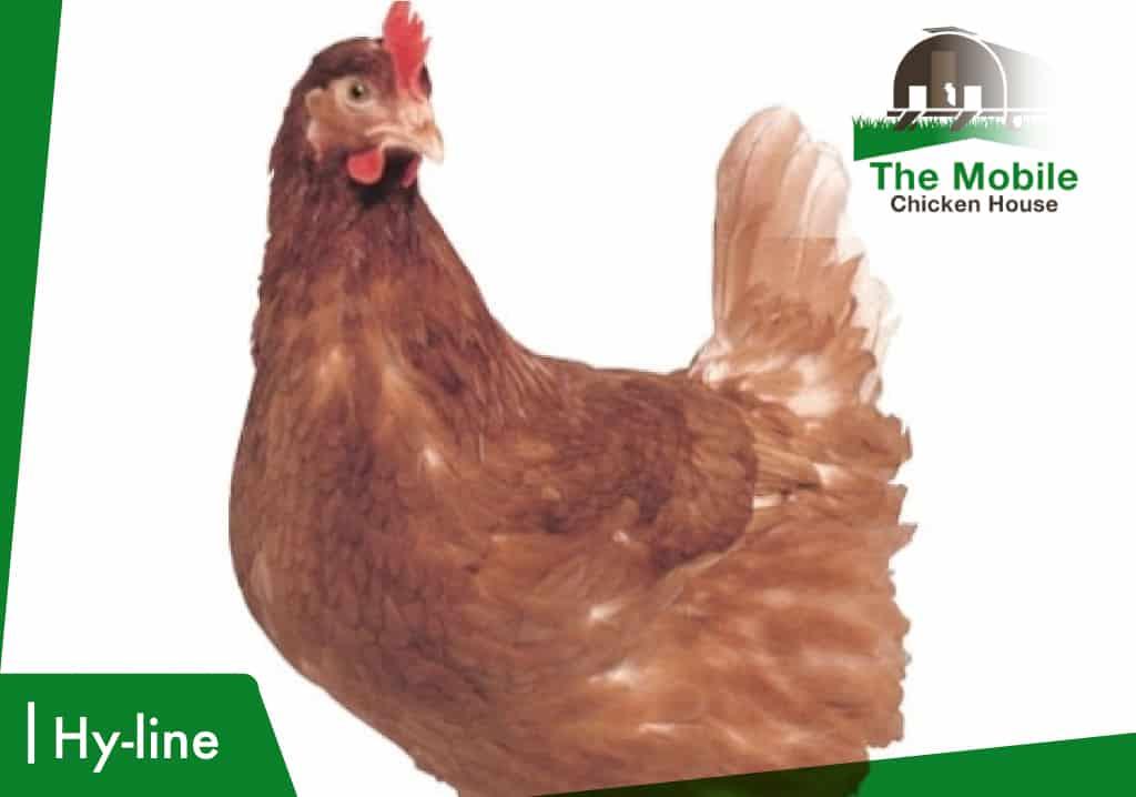 Hyline Chicken