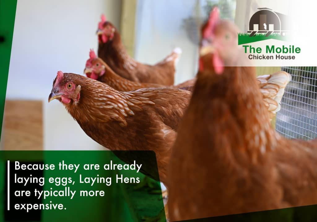 Laying hens are more expensive
