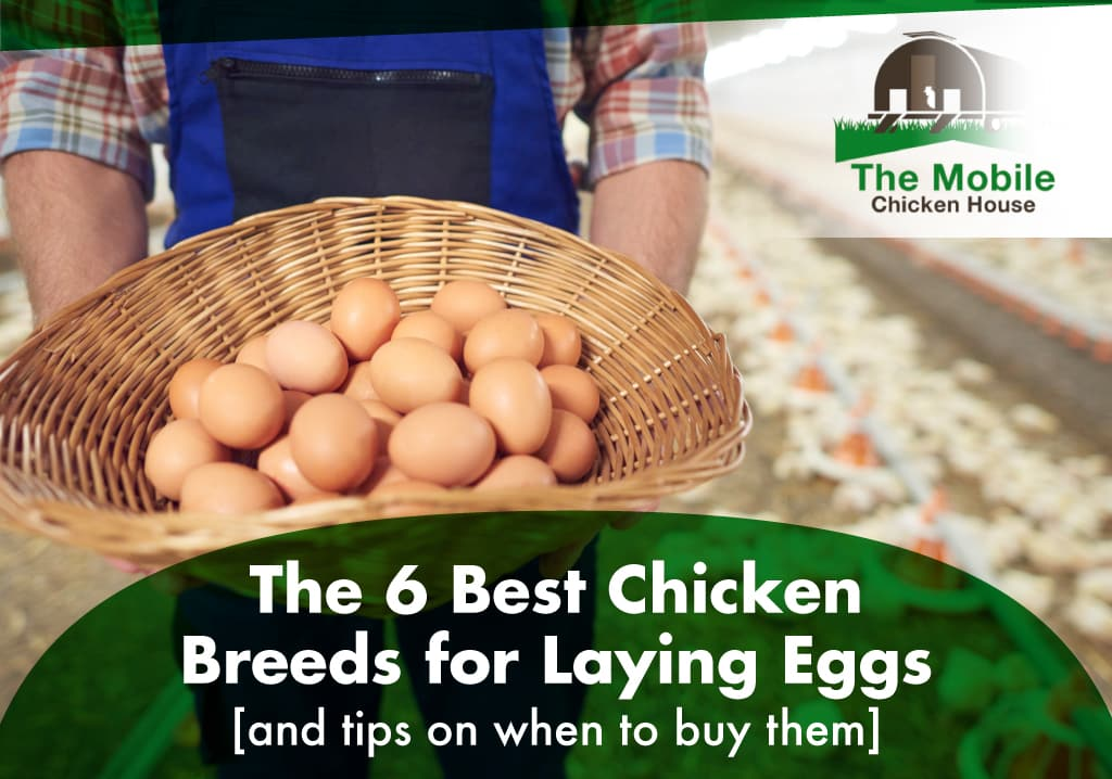 The 6 Best Chicken Breeds for Laying Eggs